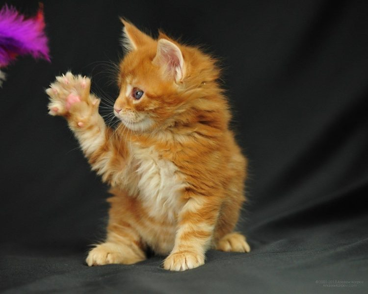 Maine Coon Kittens for Sale – Cautionary Note